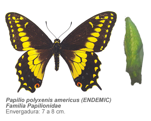 Papilio-polyxenis-americus-ENDEMIC