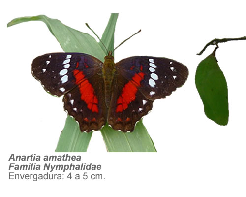 anartiamathea