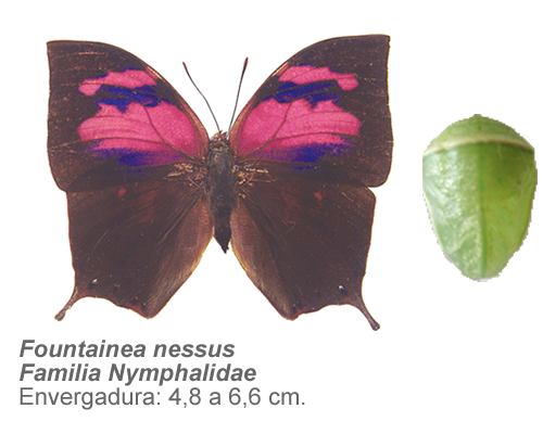 Fountainea-nessus