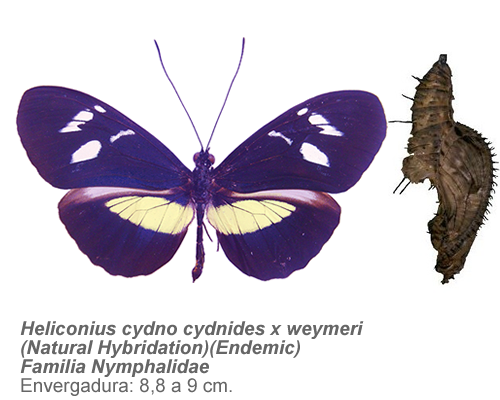 Heliconius-cydno-cydnides-x-weymeri-Natural-HybridationEndemic