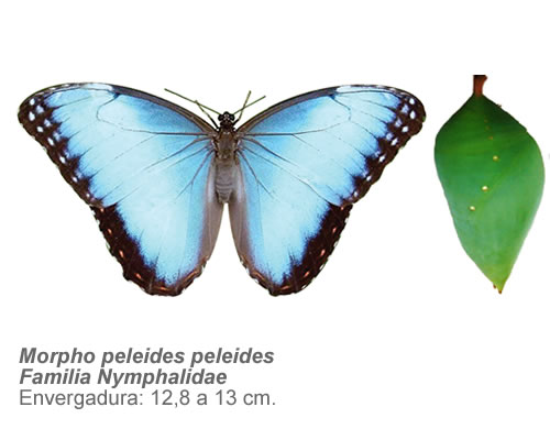 Morphoemperador