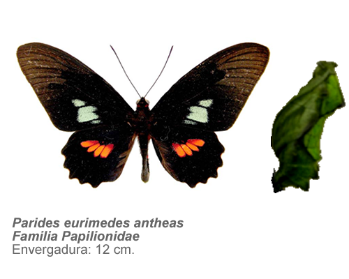 Parides-eurimedes-antheas